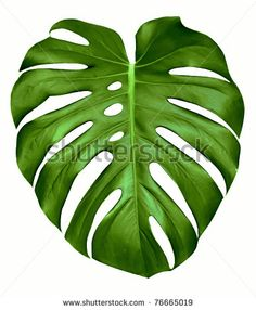 Big green leaf of Monstera plant, isolated on white. Big green leaf of Monstera plant, isolated on w Big Leaves, Green Leaves, Plant Leaves, Monstera Leaves, Leaf Drawing, Plant Drawing, Drawing Drawing, Tropical Leaves, Tropical Plants