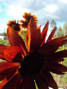 Punainen auringonkukka 2014. @tuomolankia