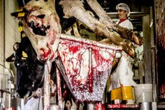 Inside the slaughter house!    You know the adrenaline that goes through these animals. It's way beef is cancerous