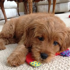 Cannot wait until October when my Mom gets her mini golden doodle