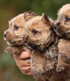 Cairn terrier puppies.  I don't even know what they look like when they grow up, but they are adorable now.  #puppied
