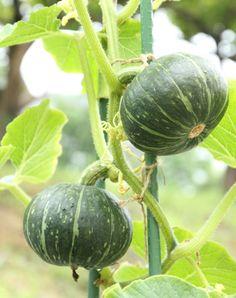 Yu-Rin流!かぼちゃの育て方   大好き!プランター菜園 Foliage Plants, Watermelon, Pumpkin, Vegetables, Garden, Flowers, Glow, Harvest, Vegetable Garden