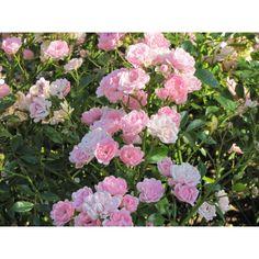 Купить сажанци розы зе фейри на украине доставка цветов минск минск доставка цветов доставка цветов в минск