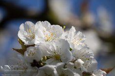 Pic: Kirschblüten