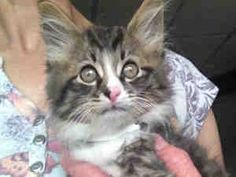PANZER is an adoptable Maine Coon Cat in Canfield, OH.  ...