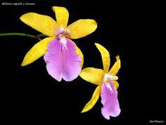 Miltonia regnelli x clowesii - Flickr - Photo Sharing!