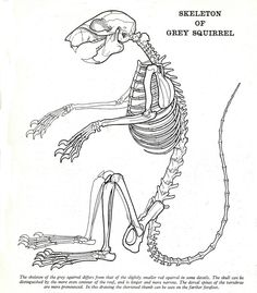 a4d74ae0d291ccdb72006b54fb51ae52 squirrel skeleton diagram wiring diagram data