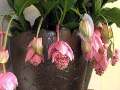 medinilla in een grote zware bloempot of overpot zodat de plant niet kan omvallen