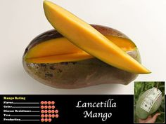 Lancetilla is a Honduran selection made famous by Dr. Richard Campbell. Its debut at the 2001 International Mango Festival at Fairchild Tropical Botanical Gardens made it an instant South Florida sensation. Its immediate acceptance by homeowners can be attributed to the tree's ability to be maintained at just ten feet. The five pound blood red fruit is firm, sweet, and completely fiberless. The fruit ripens from mid August to September.