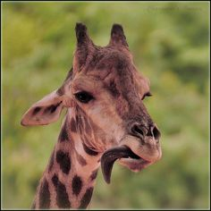 Giraffes are just amazing animals. They have awesome, funny tongues. They are able to eat tough branches between thorns without injury. The tongue is dark to prevent sunburn because it is out of the mouth so often.   GREAT PRICES on pre-owned 14k Jewelry. Code: 10PERCENT for 10% off at MedallionTradingCompany.com