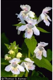 Synandra hispidula (native to VA) Native Plants, Wildflowers, West Virginia, Tennessee, Profile, Gardening, Beauty, User Profile, Wild Flowers