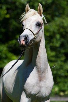 Al-Qahira Spanish Arabians.