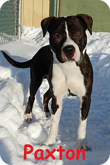 Erie, PA - Boxer/American Pit Bull Terrier Mix. Meet Paxton, a dog for adoption. http://www.adoptapet.com/pet/12442262-erie-pennsylvania-boxer-mix