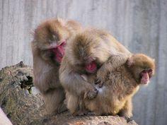 Rotgesicht - Japanmakanen beim Lausen , 51-77/1496 | Flickr - Photo Sharing!