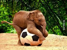 Just a baby elephant playing with a soccer ball.