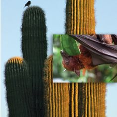 """Cactus, Bats, and Christmas Gift-Giving https://www.icr.org/article/10343  Darwinists teach that nature is just a gladiatorial arena of cutthroat competition and selfish struggle—a conquer-or-be-conquered """"survival of the fittest"""" contest. They routinely skew their caricature of nature to overemphasize its brutal death struggle as if death were some sort of good, driving life force.  #Apologetics #Ecology"""