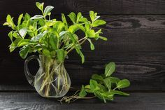 "Do you have a few favorite ""go-to"" herbs? Why not grow them in water and keep them close at hand on the kitchen window sill or right on the counter? Water-grown herbs are just as flavorsome as those you grow in the garden. You don't have to mess with soil or worry about regular watering or changing seasons. Most herbs will be happy growing in…   [read more]"