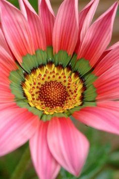 Gazania 'Christopher Lloyd'