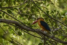 Robert-Ang posted a photo:  Tomorrow (28 January 2017) marks the beginning of the Year of the Rooster in the Chinese calendar. Today is the last day of the Year of the Monkey.  Ideally, I should be posting a picture of a rooster here instead of a stork-billed kingfisher. I went to Jurong Eco-Garden a few times this week, hoping to photograph the red jungle fowl which resembles a rooster. Interestingly, yesterday I saw a red jungle fowl and a monkey near each other at the garden…
