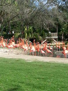 Bush gardens Tampa, fl. Flamingos my daughters favorite part. 11/13
