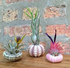 Lovely Set of 3 Sea Urchin and Air Plant Variety Pack - A Unique Birthday or Holiday Gift