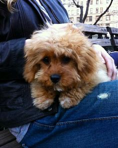 I can't handle how cute cavapoos are