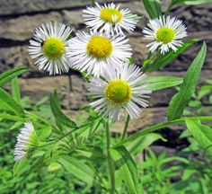 DAISY FLEABANE: (Erigeron strigosus). Photographed June 11, 2016 at McConnell's Mill State Park in Lawrence County, PA.