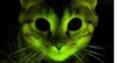 animals gfp, genetick manipulation