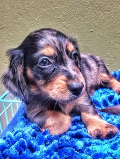 Baby Dachshund, Corgi Dog, Baby Dogs, Unique Dog Breeds, Cute Dogs Breeds, Cute Puppies, Dogs And Puppies, Alaska Dog, Spitz Dogs