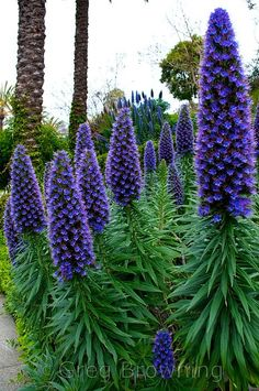 20 Ideas Yard Trees Drought Tolerant For 2019 purpleflowers Unusual Flowers, Unusual Plants, Amazing Flowers, Purple Flowers, Beautiful Flowers, Purple Garden, Drought Tolerant, Garden Inspiration, Garden Ideas