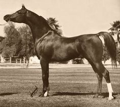 """*Padron  (Patron x Odessa)  1977 Chestnut Stallion  This stallion is a household name for any Arabian horse family! He will live on FOREVER in the hearts and pedigrees of horses all around the world. He was one of the few to be honored with the Arabian """"Triple Crown."""" This amazing stallion sired 817 foals, 129 of them are National winners!!"""
