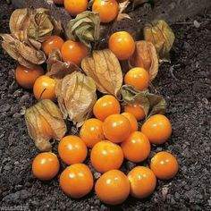"""Giant Poha Berry ,Cape Gooseberry Seeds-500 Seeds A popular fruit berry in Hawaii, the fuzzy-leaved Poha Berry bush produces about a 1"""" sweet/tart berry with sm"""
