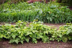Striedanie plodín: Efektívny spôsob, ako predísť únave pôdy   Záhrada.sk Planting Green Beans, Growing Green Beans, Growing Greens, Growing Bush Beans, Green Bean Seeds, Bean Garden, Rotation Des Cultures, Crop Rotation, Gardens