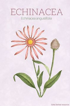 Echinacea angustifolia - Illustration