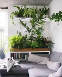 Now there's a cozy cat with great taste in plants. This plant shelf is something out of our wildest dreams. Thanks for sharing in #InteriorRewilding, @studioplants! We post a new photo from #InteriorRewilding each week. Tag your indoor green oasis for a chance to be featured!
