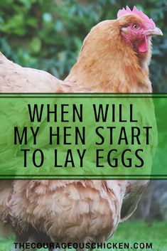 "When will your chickens start paying their rent? When a chicken start laying eggs is called ""point of lay"" and generally happens between 5 & 6 months old. Best Egg Laying Chickens, Laying Hens, Baby Chickens, Keeping Chickens, Raising Chickens, Chickens Backyard, Keeping Ducks, Raising Ducks, Silkie Chickens"