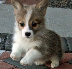Cutest Animal Ever: Welsh Corgi Puppy   **This will be my first puppy/dog in my DC Apartment XD!!! #toocutetodeny
