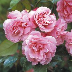 Old Blush China - David Austin Roses