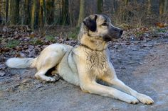 The kangal (pronounced khan-ghahl) is a breed of large livestock guarding dog originating from the city of Sivas in central Turkey. The breed is not used for herding, but to defend flocks of sheep from wolves, jackals and even bears...  http://www.pbs.org/wnet/nature/blog/kangal-soldier-of-the-steppe/