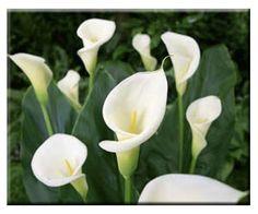 Calla Lillies for garden