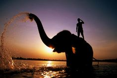 Indian Elephant bathing with its mahout in the Rapti River at sunset, Royal Chitwan National Park.