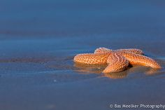 COMMON SEA STARAsterias rubens©Bas Meelker The Common Starfish or Common Sea Star (Asterias rubens) is the most common and familiar starfish in the north-east Atlantic and Indian Ocean.  It has five arms and usually grows to between 10–30cm across, although  larger specimens (up to 52cm across) are known. The Common Starfish is  usually orange or brown, and sometimes violet; deep-water specimens are  pale. The Common Starfish is to be found on rocky and gravelly  substrates. It reproduces…