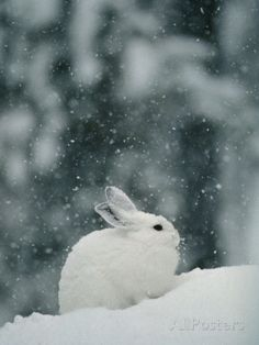 Snow Falls on a Snowshoe Hare in its Winter Coat Photographic Print by Michael S. Quinton at AllPosters.com