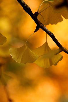 Ginkgo Leaves by Eo NaYa