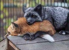 Картинки по запросу silver fox