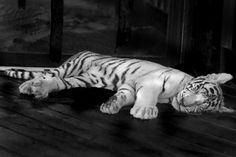Baby tiger White Bengal Tiger, Tiger Love, Big Cats, Cute Animals, Baby, Pretty Animals, Cutest Animals, Cute Funny Animals, Baby Humor