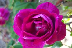 """"""" Amadis """" - Boursault, Hybrid Pendulina rose - Mild fragrance - Jean Laffay (France), 1829"""