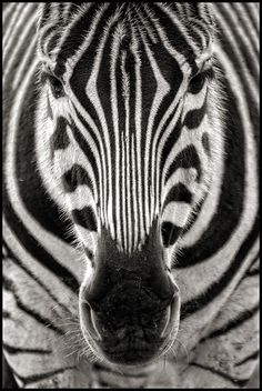 UK - Cotswolds - Cotswold WIldlife Park - Zebra mono | by Darrell Godliman
