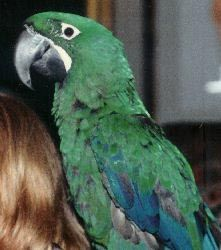 Picture of a juvenile Milicinth Macaw