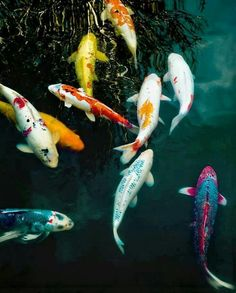 Koi Fish would be the kind of fish I would have in my aquaponic garden.  See the colors of the fishes.?its sow really cold in the eyes to watch them...